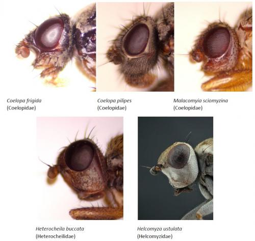 Heads of the five Kelp Fly species