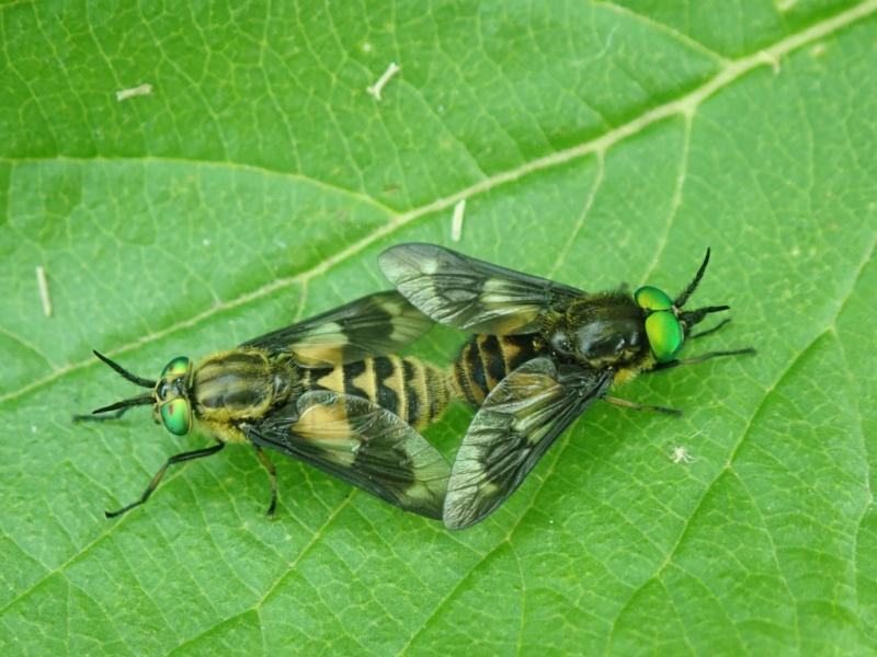 Twin-lobed Deerfly, Chrysops relictus (mating pair)