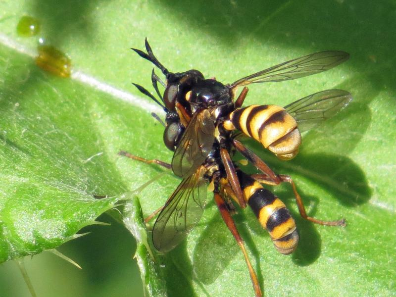 Conops quadrifasciatus in cop. Pitsford Water Nature Reserve, Northants, UK