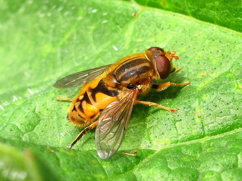 Parhelophilus species, a hoverfly