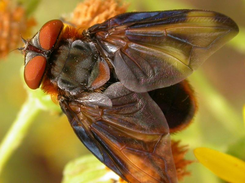 A tachinid fly, Phasia hemiptera
