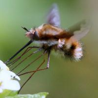 Bee-fly hovering over flower, by Sue Collison